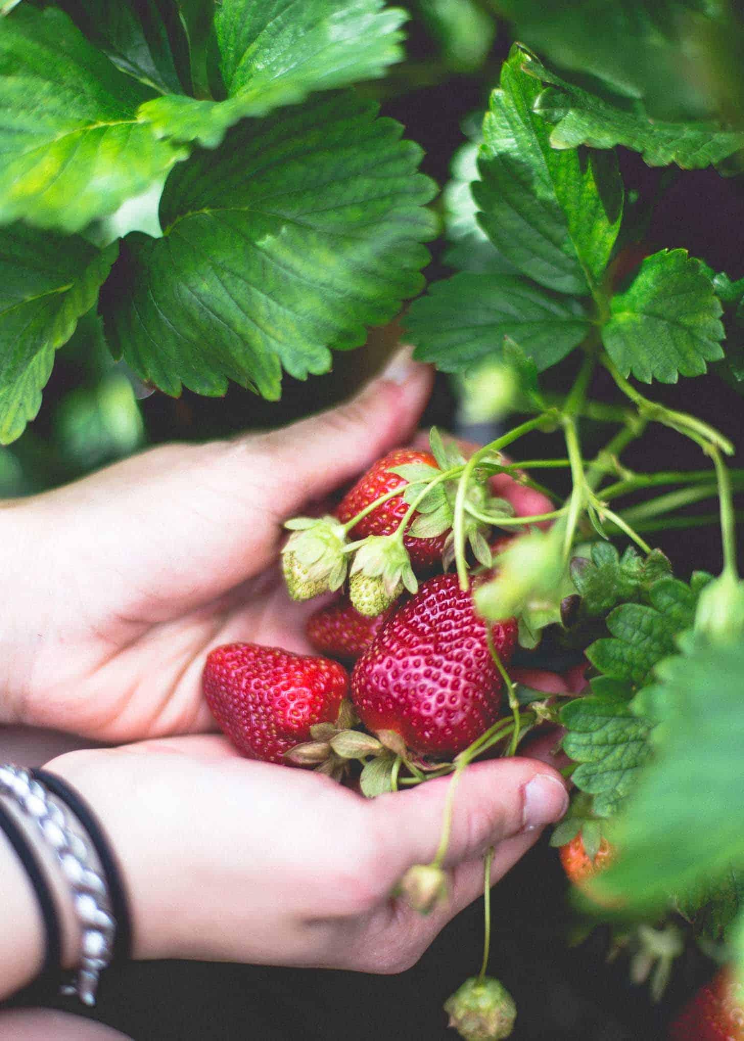 Wohletz Farm Strawberries on the vine